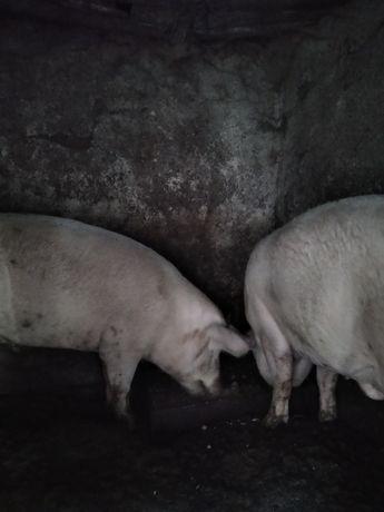 Продаю домашніх свиней