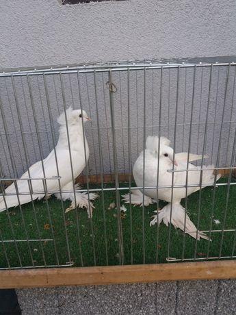 Gołębie olbrzym wegierski