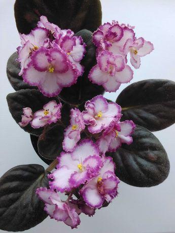 Фіалка-вазон (листя)