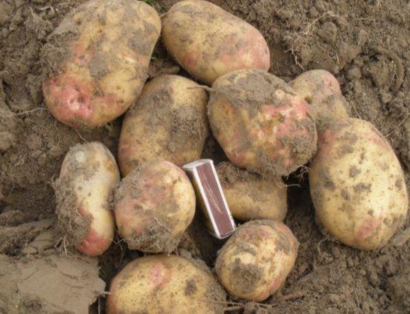 Продається домашня картопля велика,червоний буряк