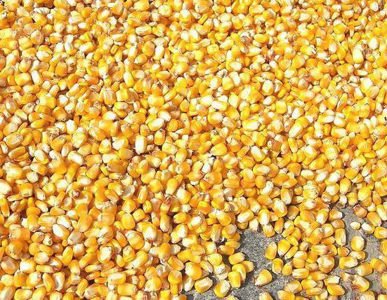 Продам кукурузу.