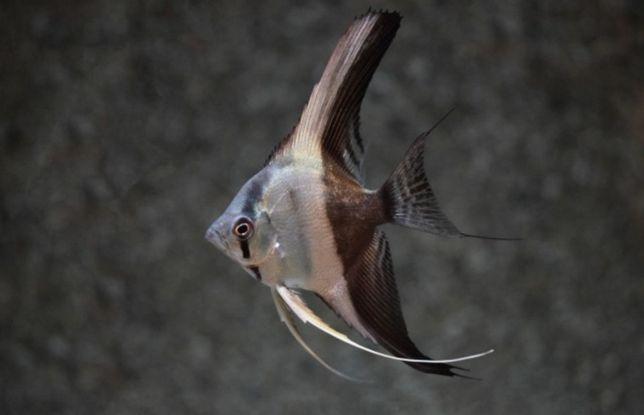 Skalar bicolor 4 -5 cm