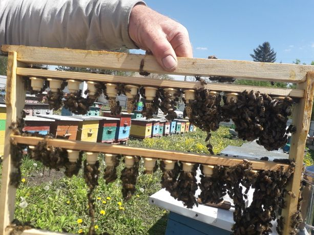 Бджолопакети пчелопакеты бджоли пчела