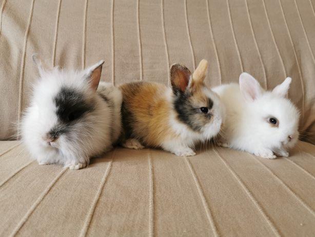 KIT completo coelhos anões mini holandês e teddy