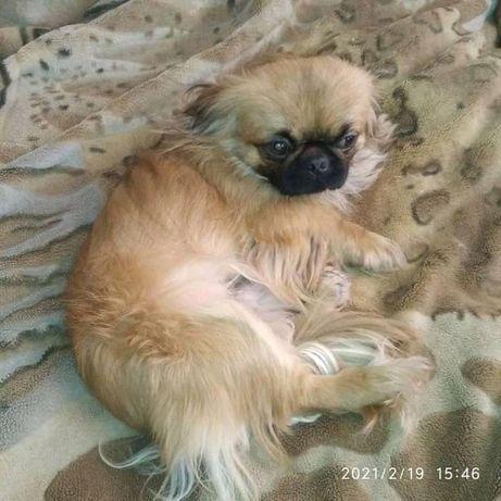 Вязка собак Пекинес