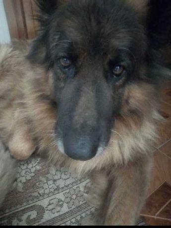 Пропала собака,немецкая овчарка