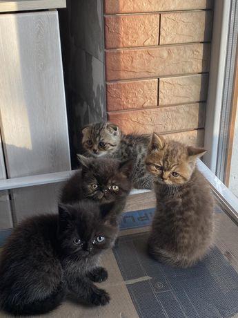 Продам веслоухих котов