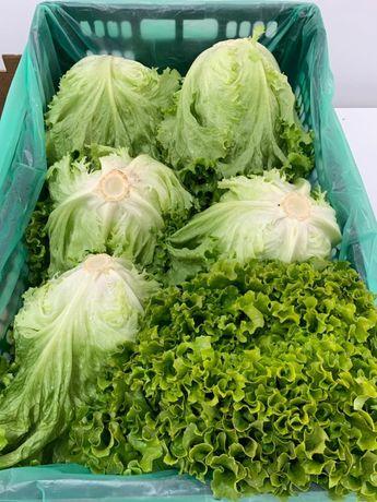 Caixa de 6 alfaces frisadas verde