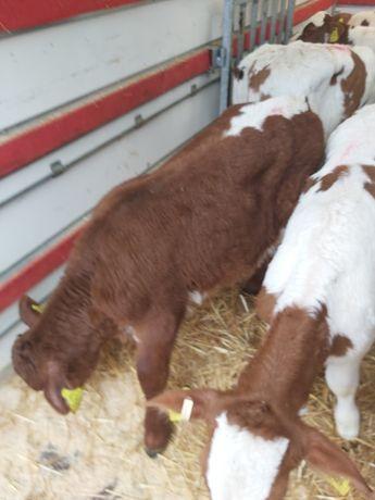 Jałoszki i byczki mięsne 70/100kg