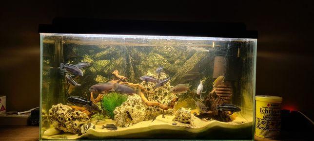 Akwarium z Pyszczakami Malavi