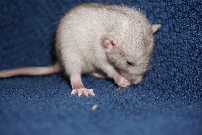 Szczur, szczury, szczurki devil, dumbo, syjamskie, rex Terra-Pomorze
