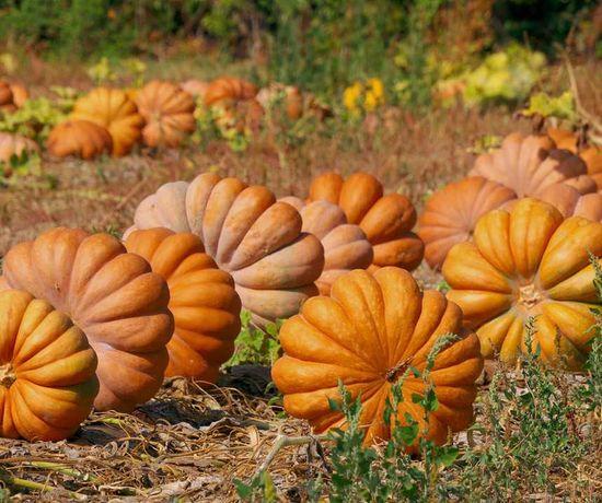 Abóbora Muscade de Provence (sementes)