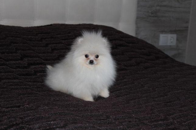 Pomeranian mini Spitz boy