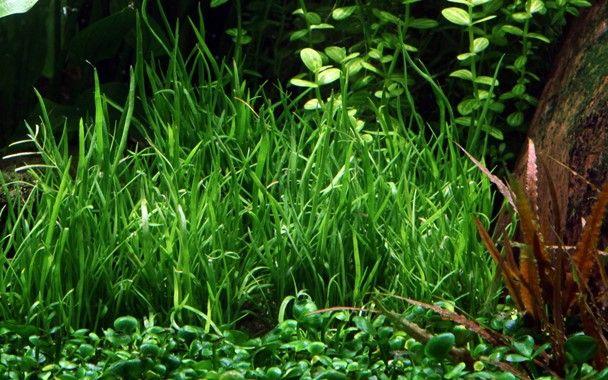 Lilaeopsis brasil - łatwy trawniczek