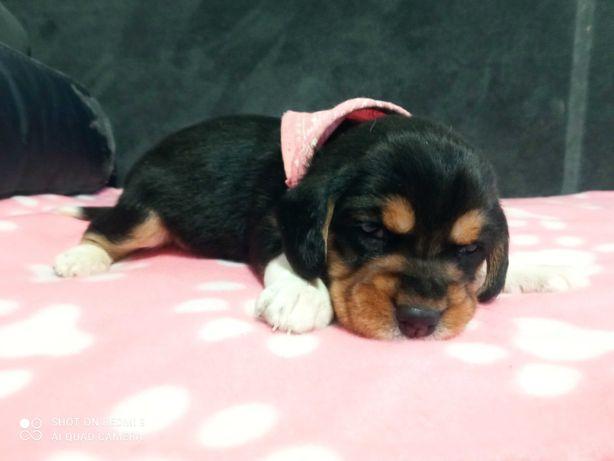 Beagle tri color,pieski suczki,rezerwacja.