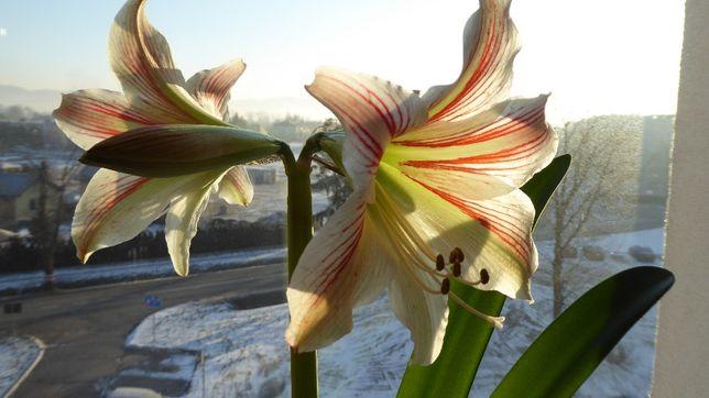 Okazja! Piękny, długoletni kwiat Amarylis czerwono-biały. Niespotykany