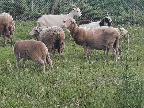 Borregos e ovelhas
