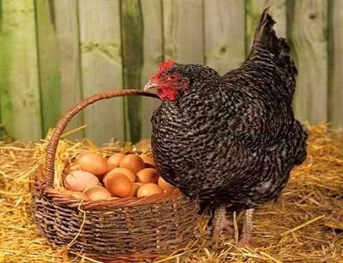 Инкубационные яйца несушка