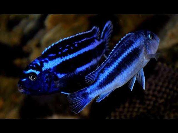 sprzedam młode pyszczaki Melanochromis cyaneorhabdos - maingano