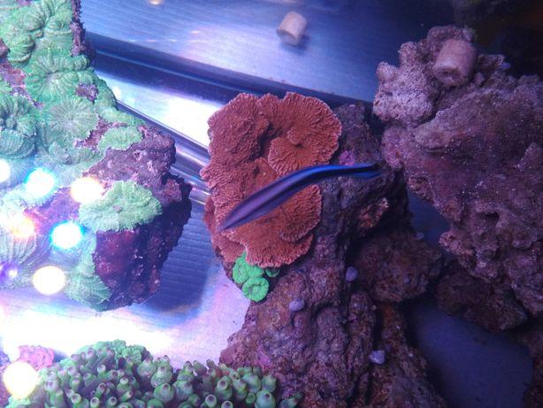 Montipora talerzowa czerwona  koralowce