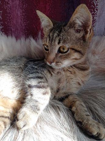 Лиза, 3,5 месяца, окрас табби