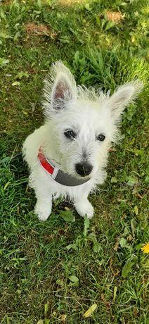 West H.W Terrier suczka