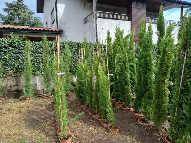 Campanha 2021/2022 - Ciprestes Vários Tamanhos! / Plantas / Jardim