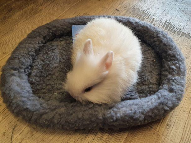 Króliki karzełki, króliki teddy, króliki miniaturki