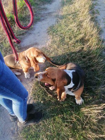 Basset hound suka oraz pies