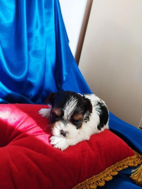 Mini-mini-piesek Biewer yorkshire Terrier ,-Champion-Polski-