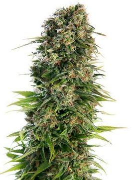 nasiona marihuany nasionka konopne nasiona konopne nasiona thc AK 47