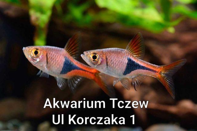 Razbora klinowa 10sztuk ul Korczaka 1 Tczew