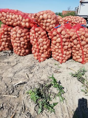 Ziemniaki jadalne Vinneta