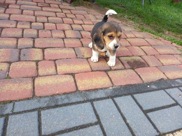 Beagle beagle szczenieta