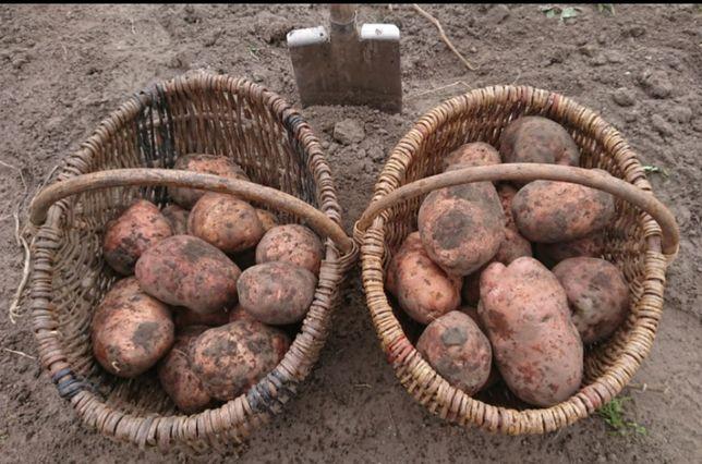 """Картошка элитная. Голландский сорт """"SNOV""""."""