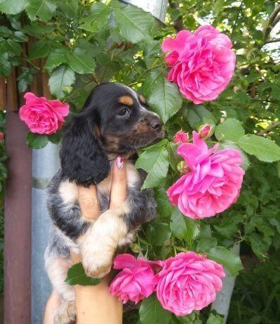 Продам щенков Спаниеля