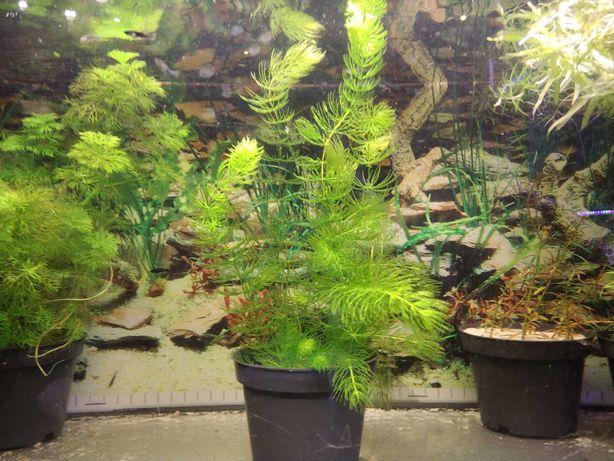 Rogatek - roślina do akwarium (łatwa w uprawie)