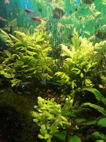 Roślinka akwariowa (za 8szt)