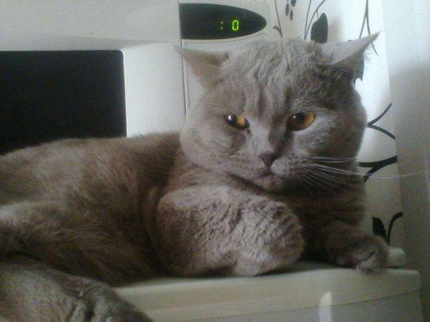 Прямоухий кот для вязки