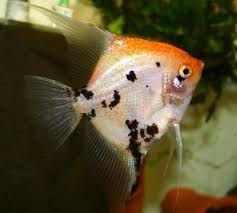 Skalary Koi,Tri kolor duże ,ładne.OKAZJA Ruda śl i inne ryby