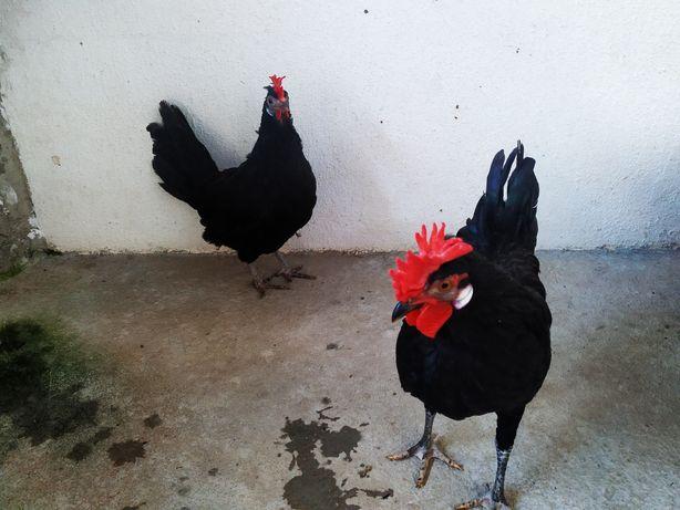 Coquichos (galinhas)