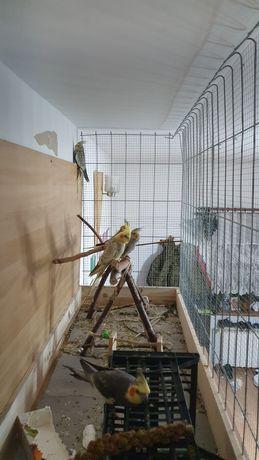 Papugi Nimfy . Młode i rodzice