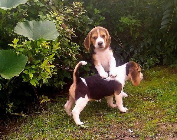 Beagle Tricolor/9 tygodniowa ostatnia sunia