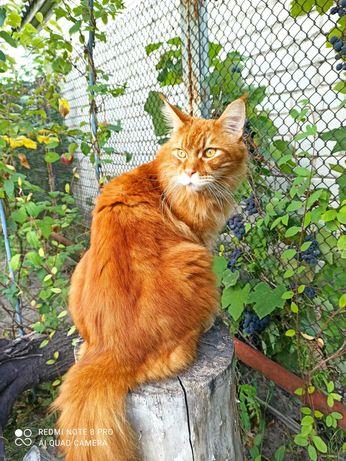 Потерялся кот мейн кун