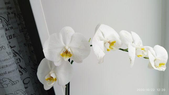 Орхидея стандарт сого юкидан