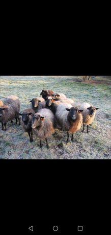 Owce wrzosówkiii