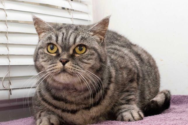 Великолепная Шотландская кошечка Грейс (5 лет) стерилизована, добрая