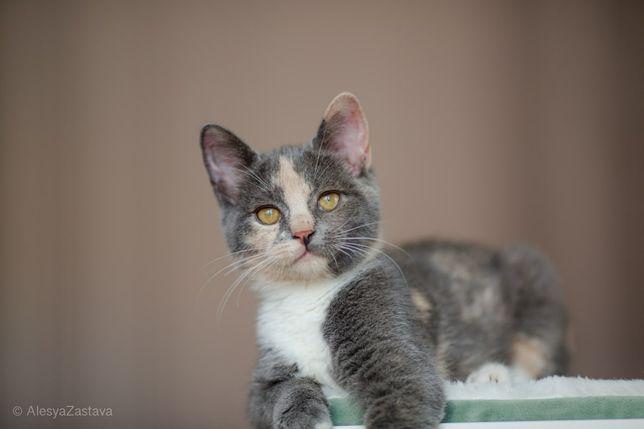 Неповторимый котенок, трехцветная девочка, короткошерстная