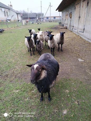 Продам вівці романівські