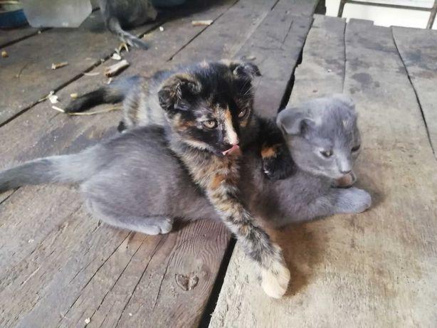 Віддам у хороші руки весловухих котів